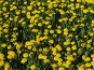 Поле одуванчиков, фото № 100850, снято 19 мая 2007 г. (c) Карелин Д.А. / Фотобанк Лори