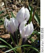 Купить «Крокусы проснулись», фото № 100858, снято 30 апреля 2005 г. (c) Калёнов Павел / Фотобанк Лори