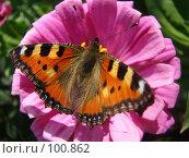 Купить «Бабочка крапивница», фото № 100862, снято 1 сентября 2007 г. (c) Карелин Д.А. / Фотобанк Лори