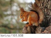 Купить «Рыжая белка грызет орех на сосне», фото № 101938, снято 23 мая 2018 г. (c) Игорь Соколов / Фотобанк Лори