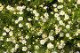Ромашковая поляна, фото № 102646, снято 25 мая 2017 г. (c) Вадим Пономаренко / Фотобанк Лори