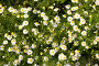 Ромашковая поляна, фото № 102646, снято 28 марта 2017 г. (c) Вадим Пономаренко / Фотобанк Лори