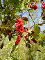 Ягоды лимонника, фото № 106422, снято 25 июня 2017 г. (c) Севостьянова Татьяна / Фотобанк Лори
