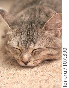 Купить «Серая кошка которая спит на ковре», фото № 107390, снято 24 октября 2007 г. (c) Останина Екатерина / Фотобанк Лори