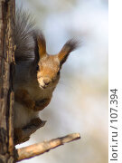 Купить «Белка 1.Squirrel 1», фото № 107394, снято 20 октября 2007 г. (c) Петр Кириллов / Фотобанк Лори