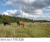 Купить «Пасущиеся лошади», фото № 110526, снято 5 сентября 2007 г. (c) Анастасия Некрасова / Фотобанк Лори