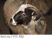 Купить «Коричневый баран», фото № 111182, снято 26 октября 2007 г. (c) Георгий Марков / Фотобанк Лори