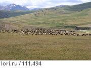 Купить «Алтай: Овцы, альпийское пастбище», фото № 111494, снято 26 июля 2006 г. (c) Александр Гершензон / Фотобанк Лори