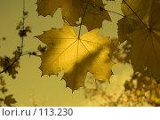 Купить «Кленовый лист», фото № 113230, снято 20 октября 2007 г. (c) Арестов Андрей Павлович / Фотобанк Лори