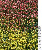 Купить «Ковер из тюльпанов», фото № 113630, снято 8 марта 2005 г. (c) Юрий Назаров / Фотобанк Лори