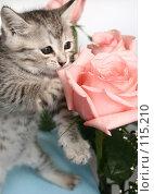 Купить «Серый котенок и розовая роза», фото № 115210, снято 13 июля 2007 г. (c) Останина Екатерина / Фотобанк Лори