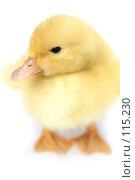 Купить «Симпатичный маленький желтый гусь на белом фоне», фото № 115230, снято 23 мая 2007 г. (c) Останина Екатерина / Фотобанк Лори