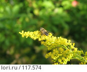 Купить «Пчела готовится улететь с желтого растения», фото № 117574, снято 18 ноября 2018 г. (c) Олег Крутов / Фотобанк Лори