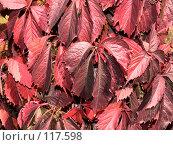 Купить «Красные осенние листья», фото № 117598, снято 30 сентября 2007 г. (c) Владимир Сергеев / Фотобанк Лори
