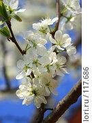 Купить «Цветущая ветка яблони», фото № 117686, снято 20 мая 2007 г. (c) Алексей Баринов / Фотобанк Лори