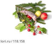 Купить «Голая крыса в яблоках на ёлке», фото № 118158, снято 23 сентября 2007 г. (c) Иван / Фотобанк Лори