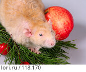 Купить «Крыса дамбо рекс, розовое ухо», фото № 118170, снято 23 сентября 2007 г. (c) Иван / Фотобанк Лори
