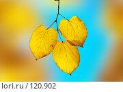 Купить «Желтый листья на ярком фоне», фото № 120902, снято 26 октября 2006 г. (c) Сергей Старуш / Фотобанк Лори