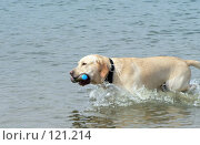Купить «Собака породы лабрадор с бутылкой в зубах бежит по воде», фото № 121214, снято 27 апреля 2018 г. (c) Вера Тропынина / Фотобанк Лори