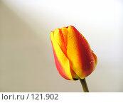 Купить «Тюльпан в каплях росы на светлом фоне», фото № 121902, снято 22 апреля 2018 г. (c) Светлана Кучинская / Фотобанк Лори