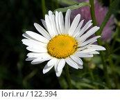 Купить «Ромашка полевая», фото № 122394, снято 1 июля 2007 г. (c) Бяков Вячеслав / Фотобанк Лори