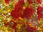 Рябина, фото № 129946, снято 3 октября 2004 г. (c) Serg Zastavkin / Фотобанк Лори
