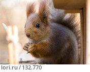 Купить «Белка с семечком», фото № 132770, снято 5 ноября 2007 г. (c) Петр Кириллов / Фотобанк Лори