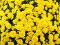 Желтые хризантемы, фото № 132782, снято 20 октября 2007 г. (c) Юрий Борисенко / Фотобанк Лори