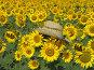 Подсолнухи в шляпе на поле подсолнухов, фото № 133098, снято 28 июля 2007 г. (c) Dmitriy Andrushchenko / Фотобанк Лори