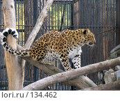 Купить «Дальневосточный леопард», фото № 134462, снято 10 октября 2004 г. (c) Serg Zastavkin / Фотобанк Лори