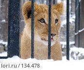 Купить «Львенок», фото № 134478, снято 7 ноября 2004 г. (c) Serg Zastavkin / Фотобанк Лори