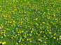 Одуванчики, фото № 134878, снято 20 мая 2005 г. (c) Serg Zastavkin / Фотобанк Лори
