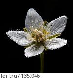 Купить «Белозор болотный, роса. Dew on grass-of-Parnassus flower», фото № 135046, снято 8 августа 2006 г. (c) Serg Zastavkin / Фотобанк Лори