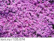 Купить «Цветы флокса шиловидного», фото № 135074, снято 5 июня 2006 г. (c) Serg Zastavkin / Фотобанк Лори