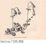 """Купить «Линнея северная, Linnea borealis, иллюстрация из книги """"Flowers of the field"""", издано в Лондоне в 1888», иллюстрация № 135358 (c) Tamara Kulikova / Фотобанк Лори"""