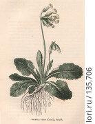 """Купить «Примула весенняя, Primula veris, иллюстрация из книги """"Flowers of the field"""", издано в Лондоне в 1888, ручная раскраска», иллюстрация № 135706 (c) Tamara Kulikova / Фотобанк Лори"""