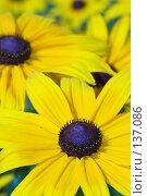 Купить «Несколько жёлтых цветов», фото № 137086, снято 17 июля 2007 г. (c) Сергей Пестерев / Фотобанк Лори