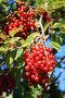 Черемуховая гроздь, фото № 137126, снято 17 августа 2007 г. (c) Михаил Николаев / Фотобанк Лори