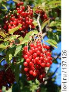Купить «Черемуховая гроздь», фото № 137126, снято 17 августа 2007 г. (c) Михаил Николаев / Фотобанк Лори