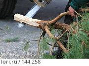 Купить «Срезанная елка», фото № 144258, снято 10 декабря 2007 г. (c) Иван Нестеров / Фотобанк Лори