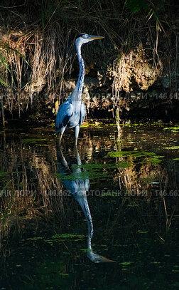 Купить «Голубая цапля», фото № 146662, снято 2 августа 2004 г. (c) hunta / Фотобанк Лори