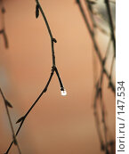 Купить «Капля воды на весенней веточке», фото № 147534, снято 22 марта 2007 г. (c) Ольга Хорькова / Фотобанк Лори