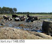 Купить «Коровы на берегу Белого моря», фото № 148050, снято 16 августа 2007 г. (c) Ярослава Синицына / Фотобанк Лори