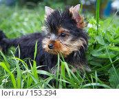 Купить «Щенок йоркширского терьера в траве», фото № 153294, снято 31 июля 2007 г. (c) Ирина Мойсеева / Фотобанк Лори