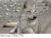 Купить «Волк, смотрящий влево», фото № 153770, снято 23 сентября 2007 г. (c) Иван Мацкевич / Фотобанк Лори