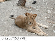 Купить «Отдыхающая львица», фото № 153778, снято 23 сентября 2007 г. (c) Иван Мацкевич / Фотобанк Лори