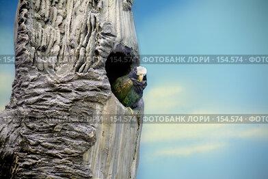 Купить «Попугай в дупле», фото № 154574, снято 11 декабря 2007 г. (c) Parmenov Pavel / Фотобанк Лори