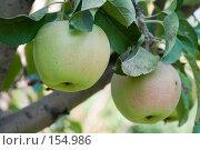 Купить «Спелые яблоки», фото № 154986, снято 18 сентября 2018 г. (c) SummeRain / Фотобанк Лори