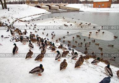Купить «Утки», фото № 155010, снято 16 декабря 2007 г. (c) Сергей Лаврентьев / Фотобанк Лори