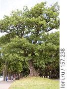 Древний дуб на набережной, г. Геленджик. Стоковое фото, фотограф BART / Фотобанк Лори